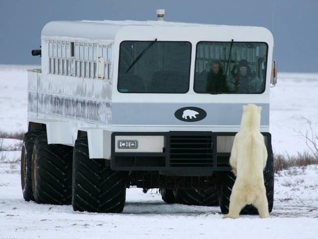 Ready your camera! Curious polar bears during Churchill Nature Tours
