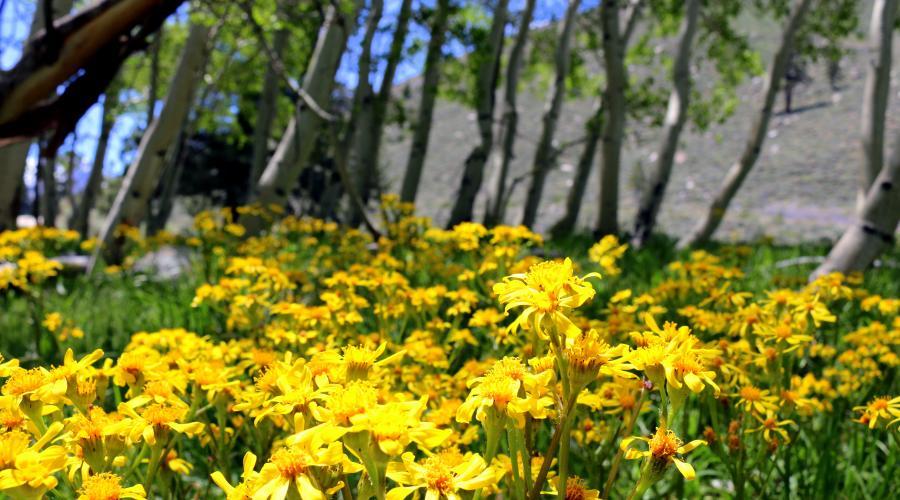 Twin Lakes Wildflowers