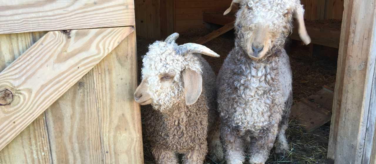 Goats at Cherry Mountain Farm}