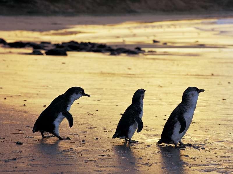 Phillip Island Penguin Parade, Melbourne, Victoria