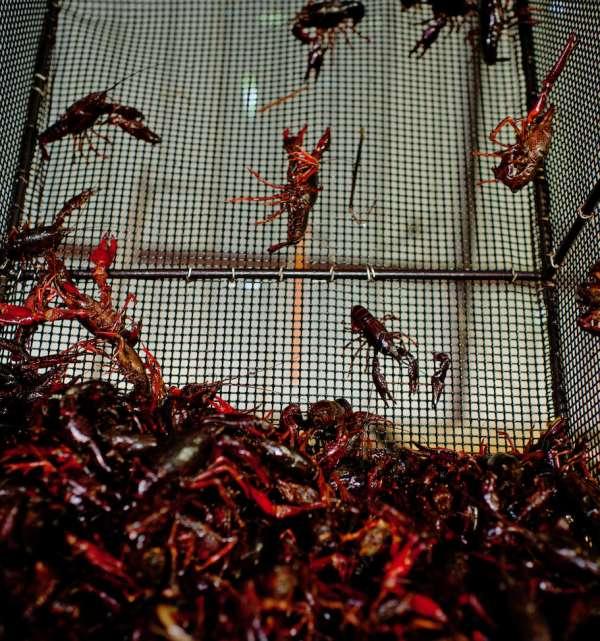 Crawfish Purging Baskets