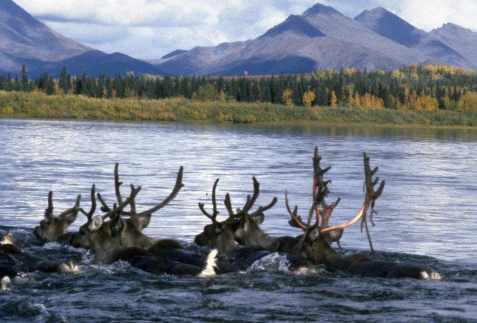 Kobuk river Caribou swimming