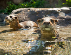 Otters in Fresh Water Oasis