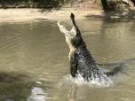Gator feeding show