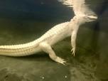 White Gators