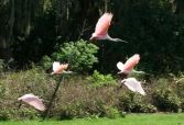 Spoonbills in Flight