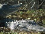 Two alligators Up Close