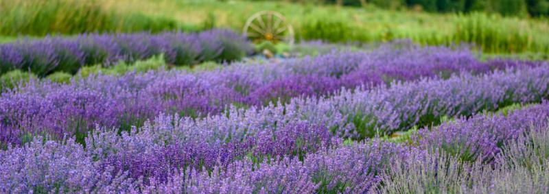 Kingfisher Lavender