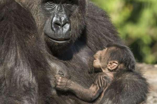 busch_gardens_tampa_baby_gorilla_2014_01_w1024