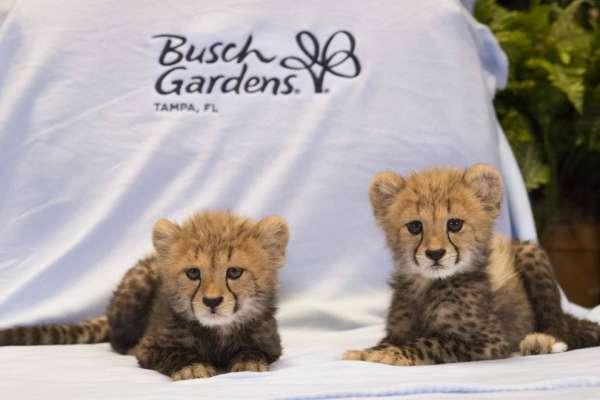 busch_gardens_tampa_cheetah_cubs__05_w1024