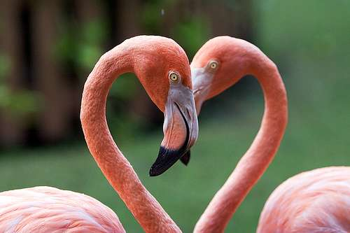 flamingo_heart