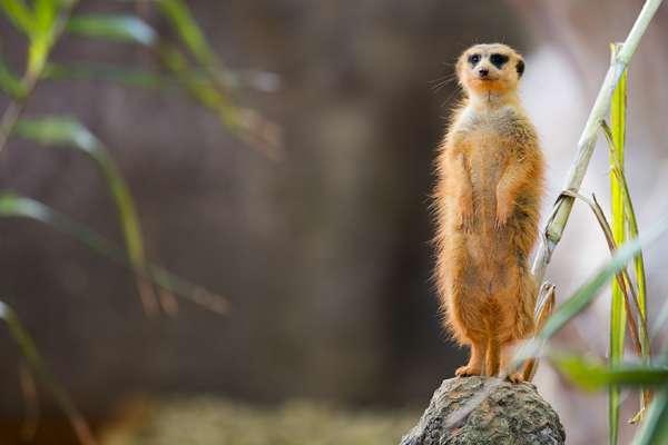 meerkat_01
