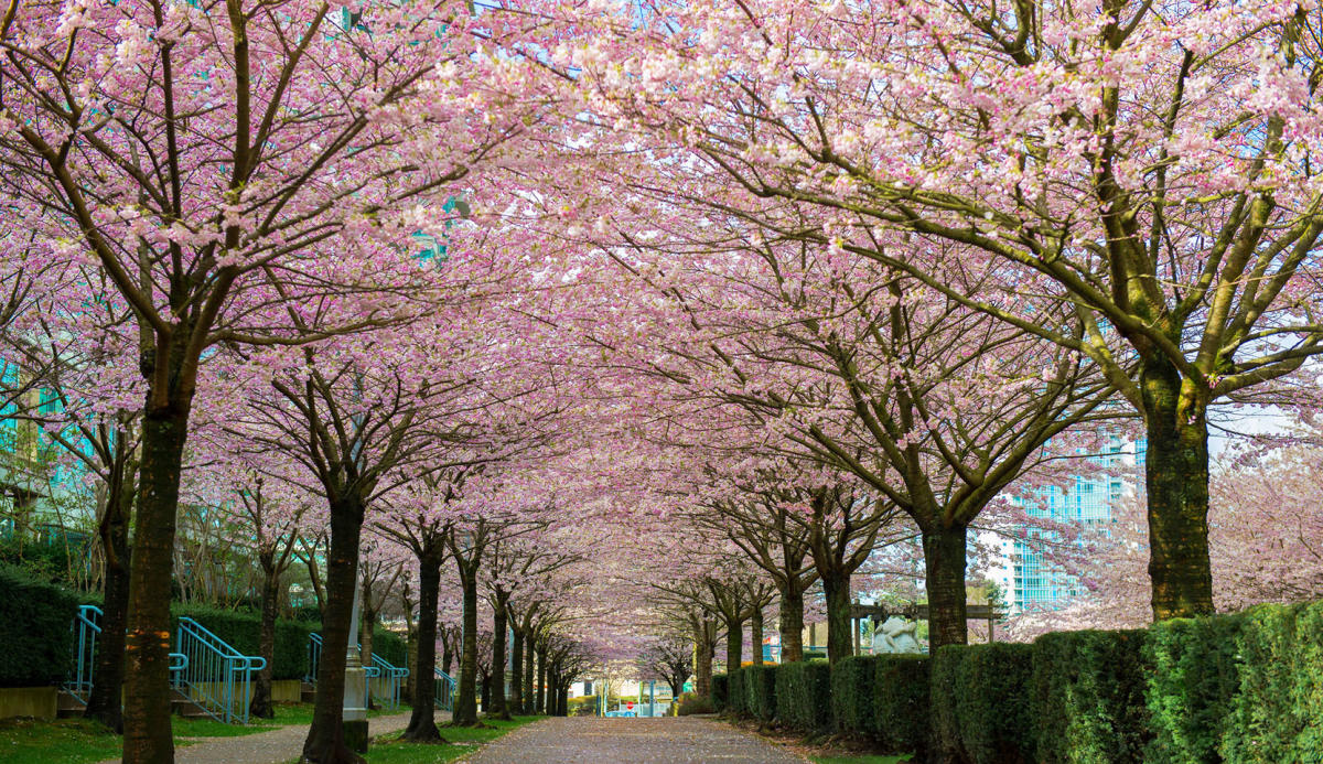 a guide to vancouver 39 s cherry blossoms