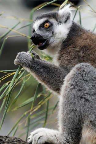 Tennessee Aquarium Lemur Exhibit