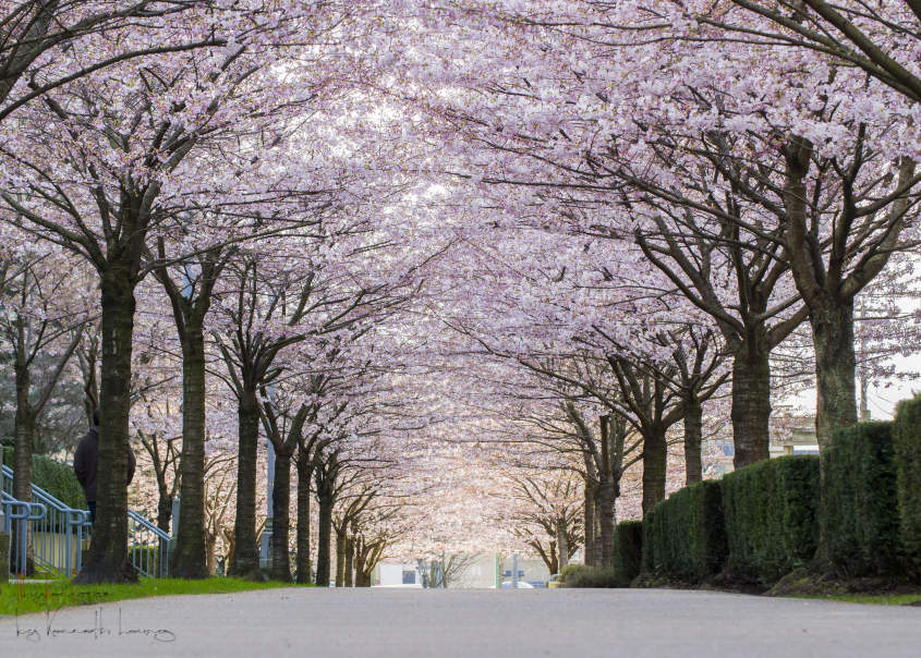Image result for The cherry blossom place