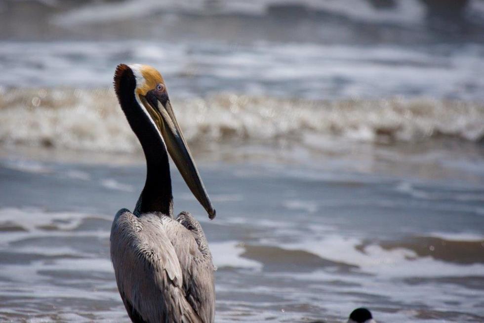 Port Arthur Pelican