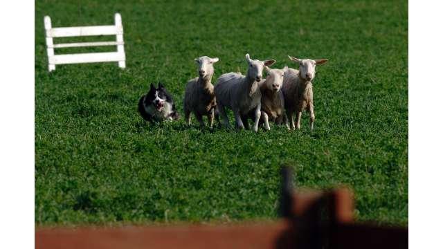 Old Chatham Sheep Herding Company 1204