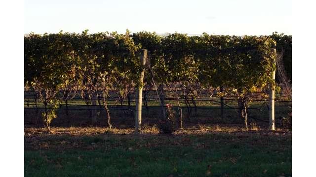 Long Island Vineyard