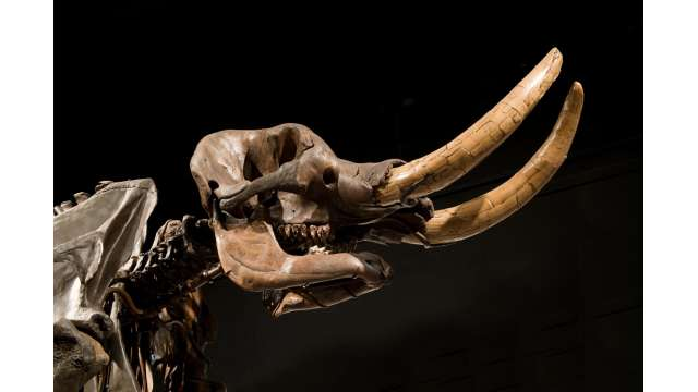 New York State Museum - Cohoes Mastodon 1489