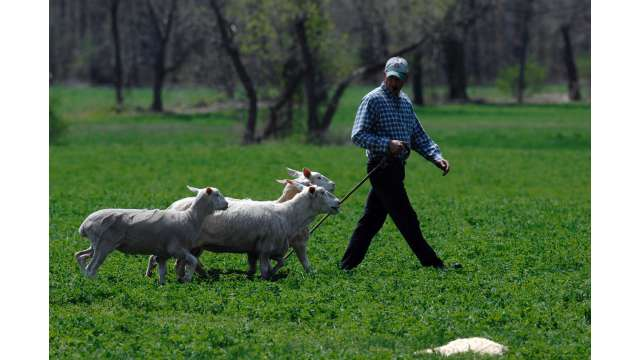 Old Chatham Sheep Herding Company 1194