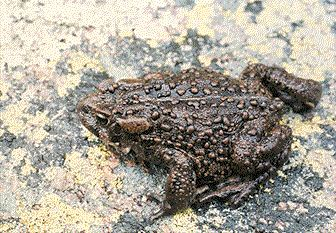 Boreal toad research an effort in endangered species conservation sciox Choice Image