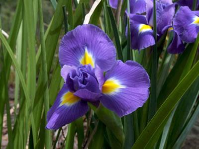 iris place, Beautiful flower