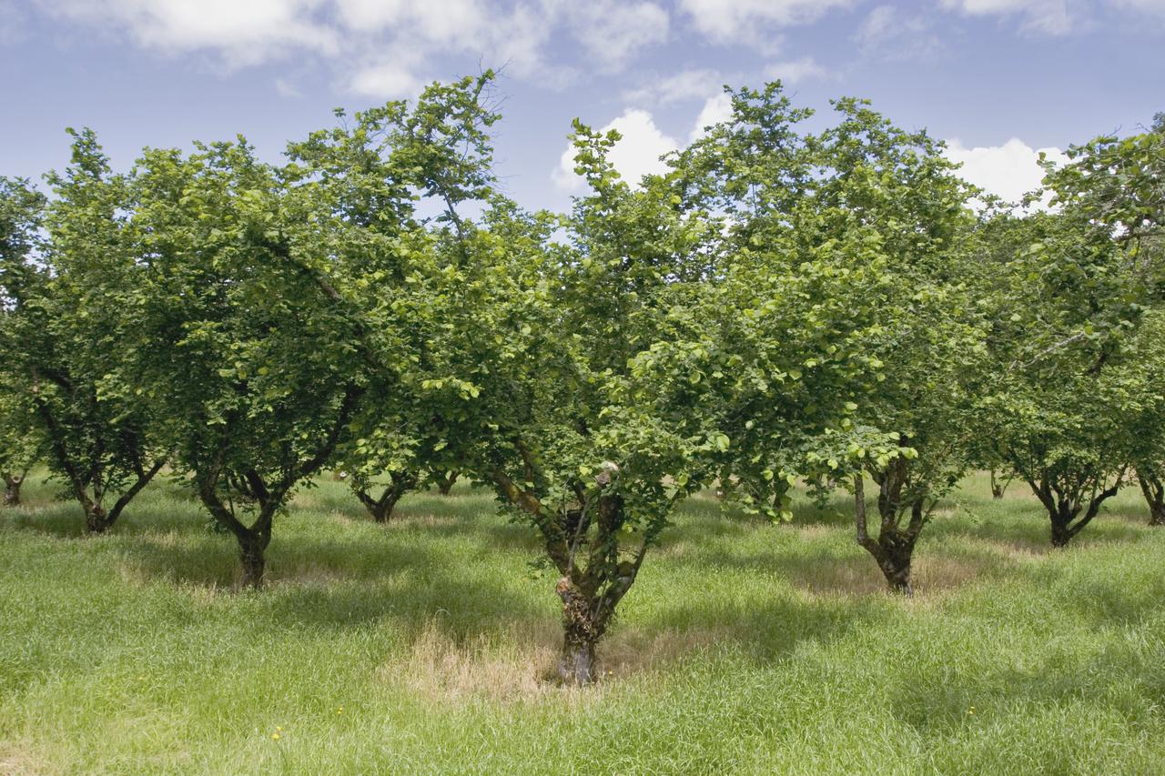 Dorris Ranch Filbert Orchard By Willamalane
