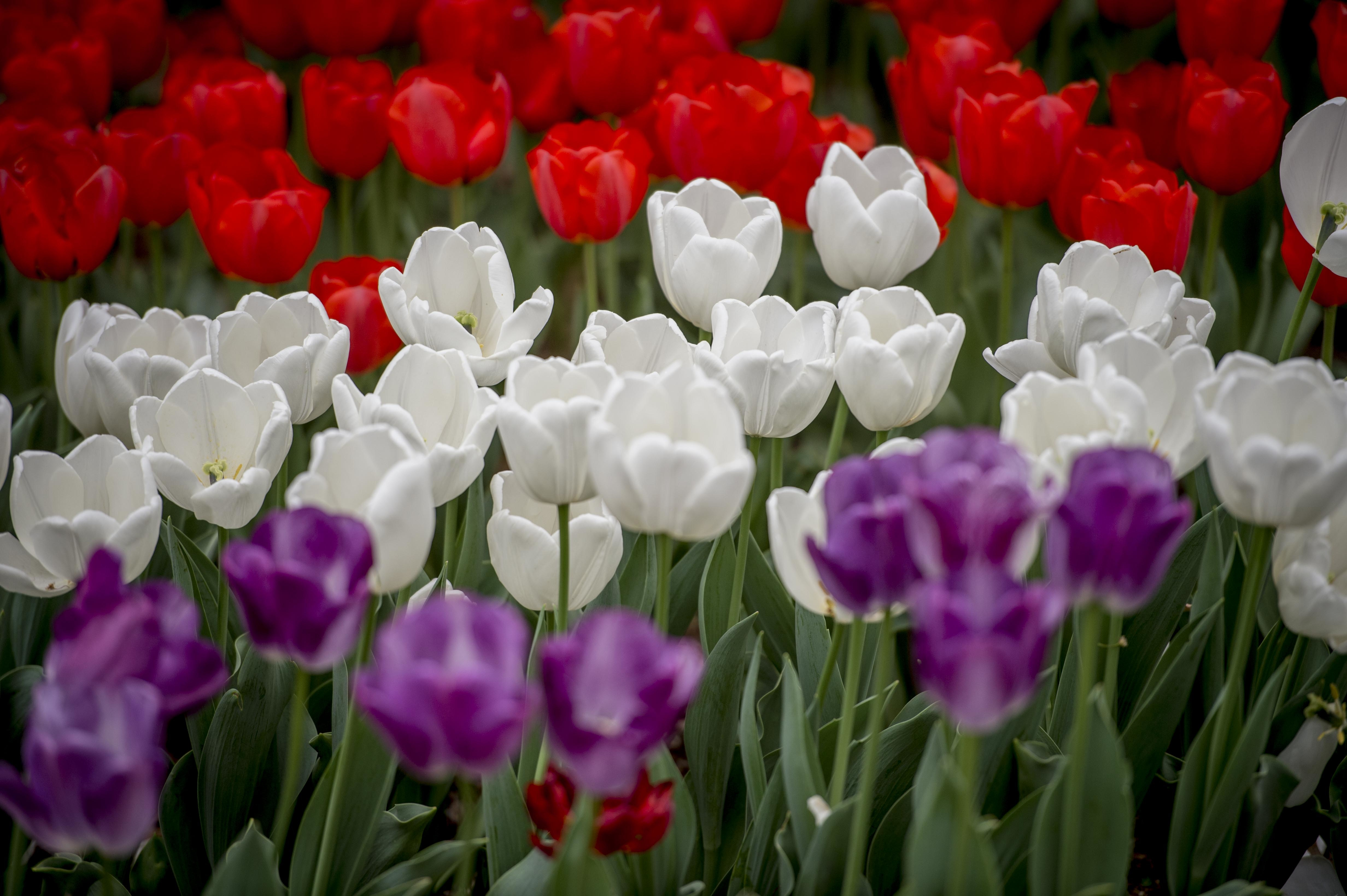 Tulip time festival day at the lake robcynllc Choice Image