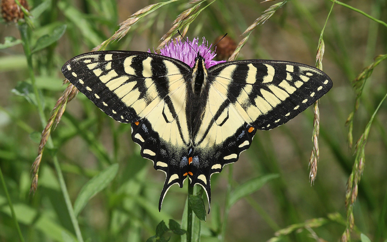 Canadian Tiger Swallowtails