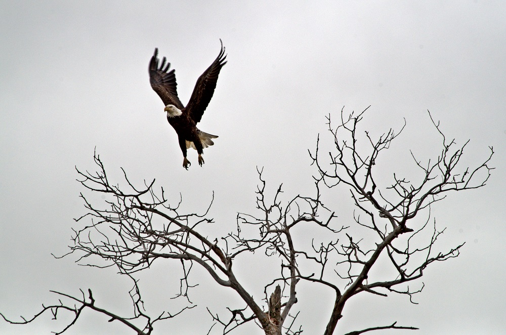 Bald Eagle found in Manitoba
