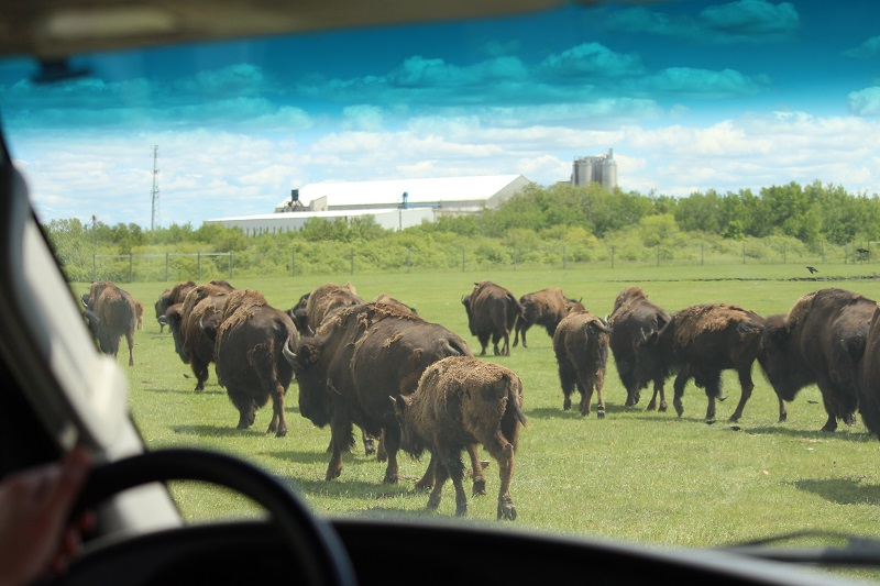 Bison Safari at FortWhyte Alive