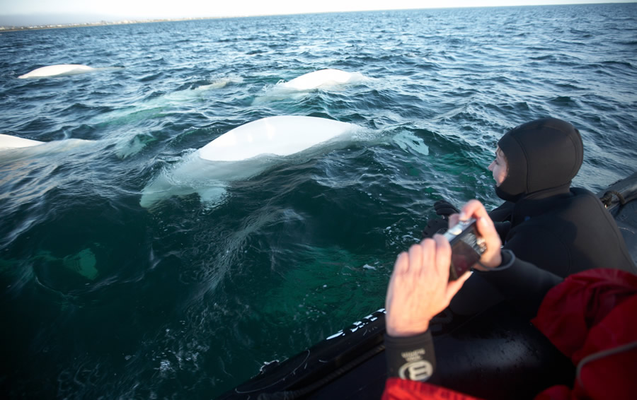 Watching beluga whales from a zodiac boat in Churchill.