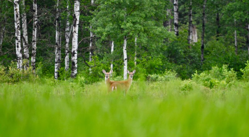 Wildlife in Riding Mountatin National Park, Manitoba