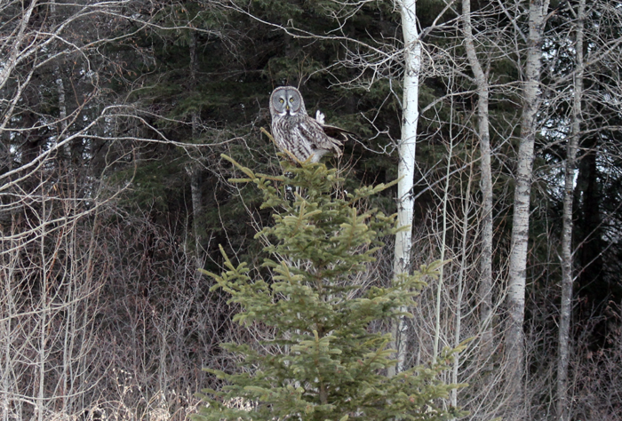 Great Grey Owl in Southwestern Manitoba