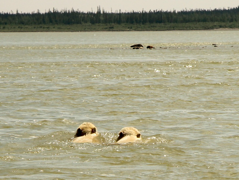 Polar bears swimming in the Nelson River.