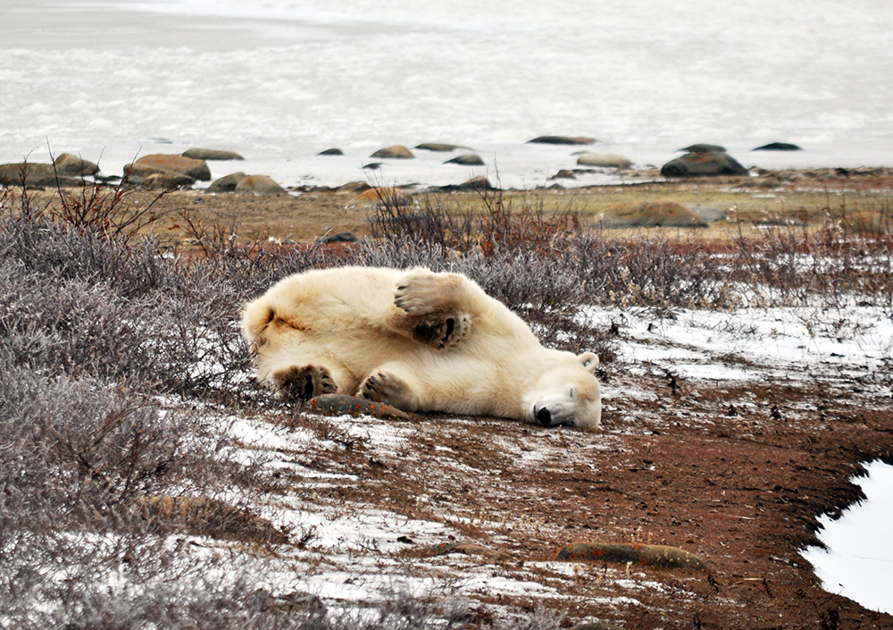 Napping Polar Bear in Churchill, Manitoba