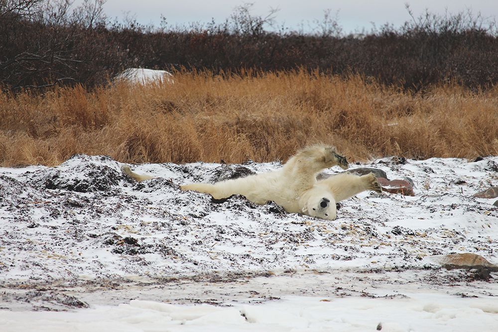 Stretching polar bear in northern Manitoba