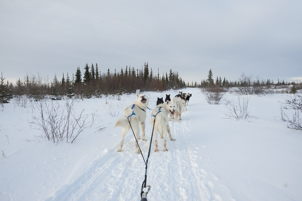 Dogsled ride in Churchill, Manitoba