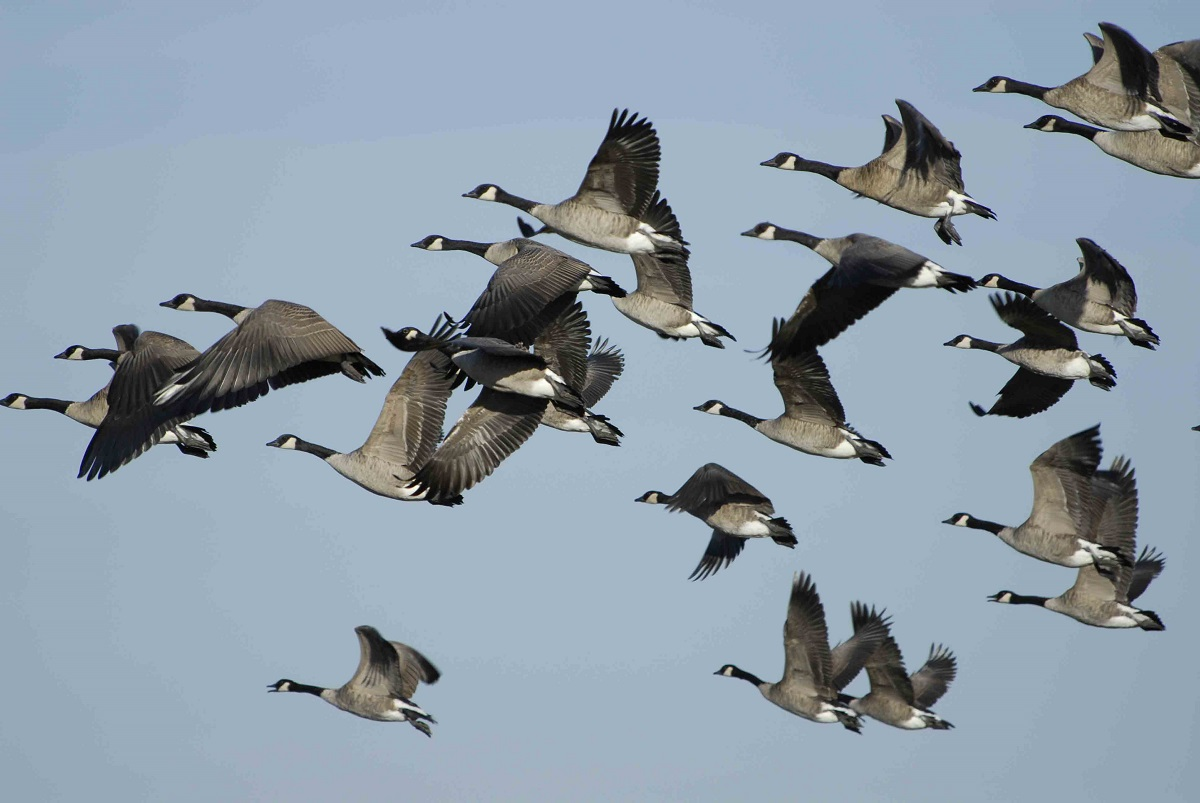Geese in flight, Manitoba