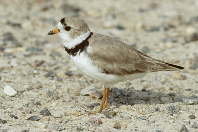 See piping plover at Grand Beach Manitoba