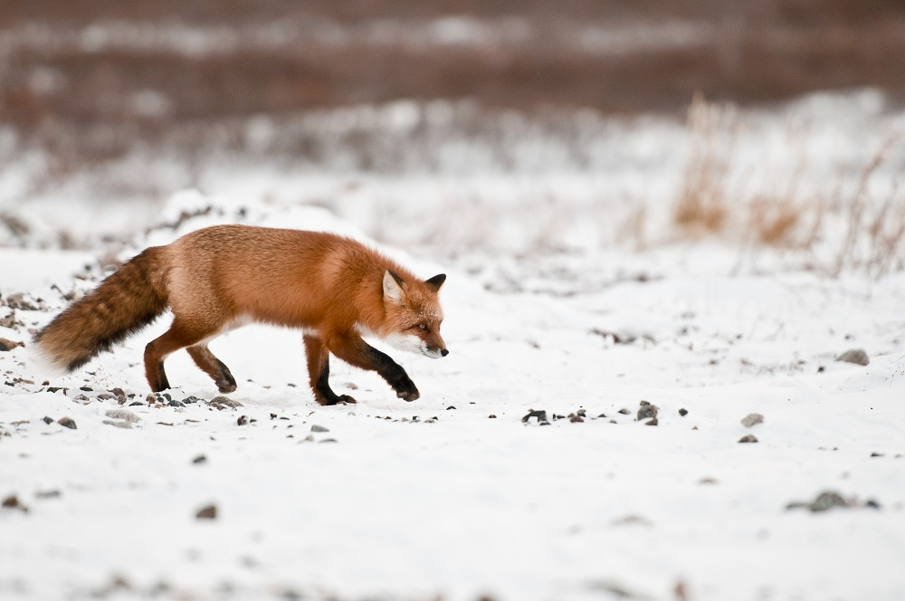 Red fox in Churchill, Manitoba