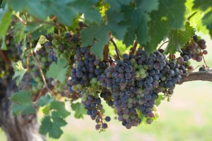 Somerset Wine Trail - Grapes on Vine