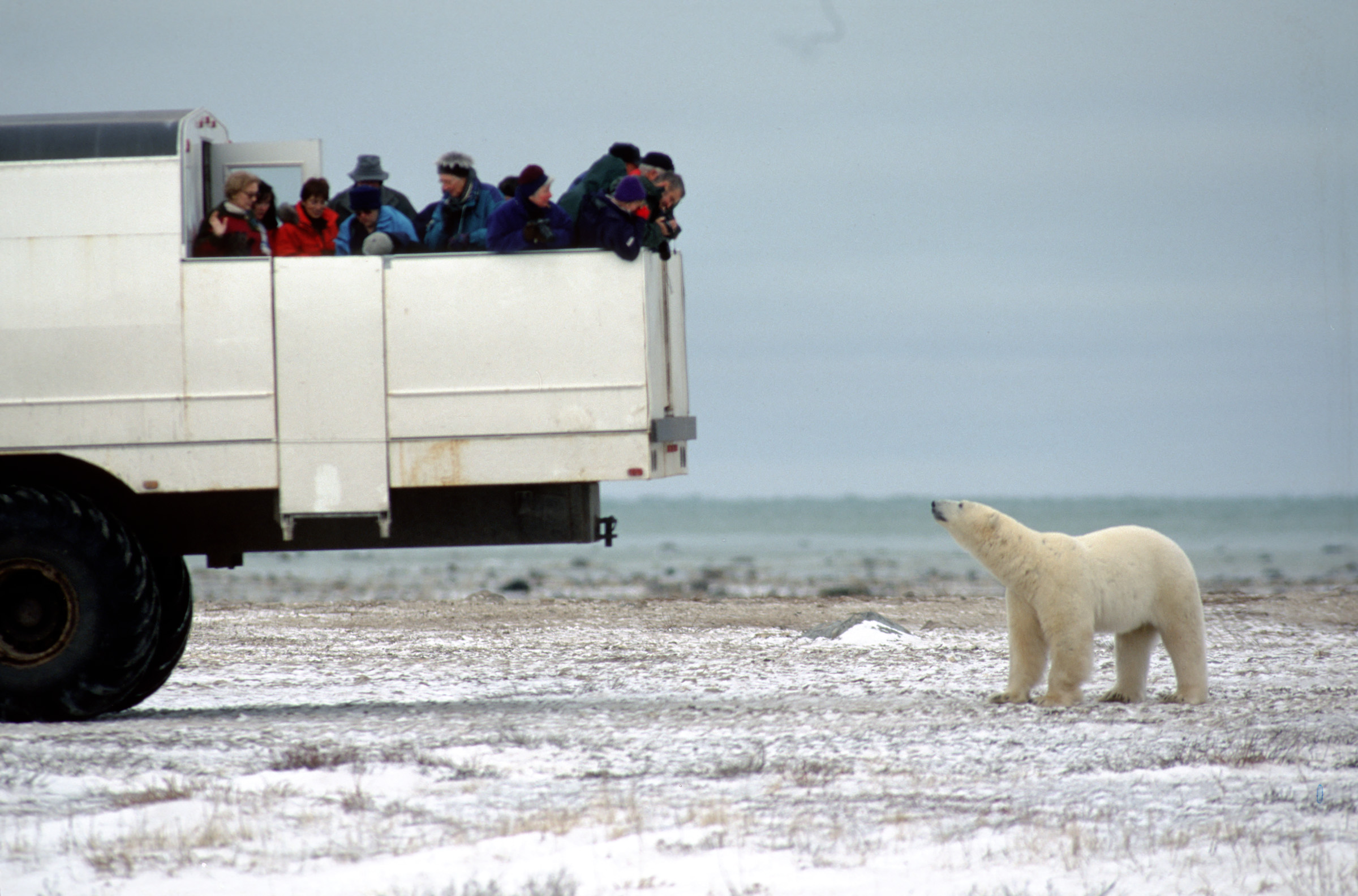 Northern winter safari to see polar bears, northern lights in ...