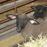 Baby Animals MSU Barns East Lansing