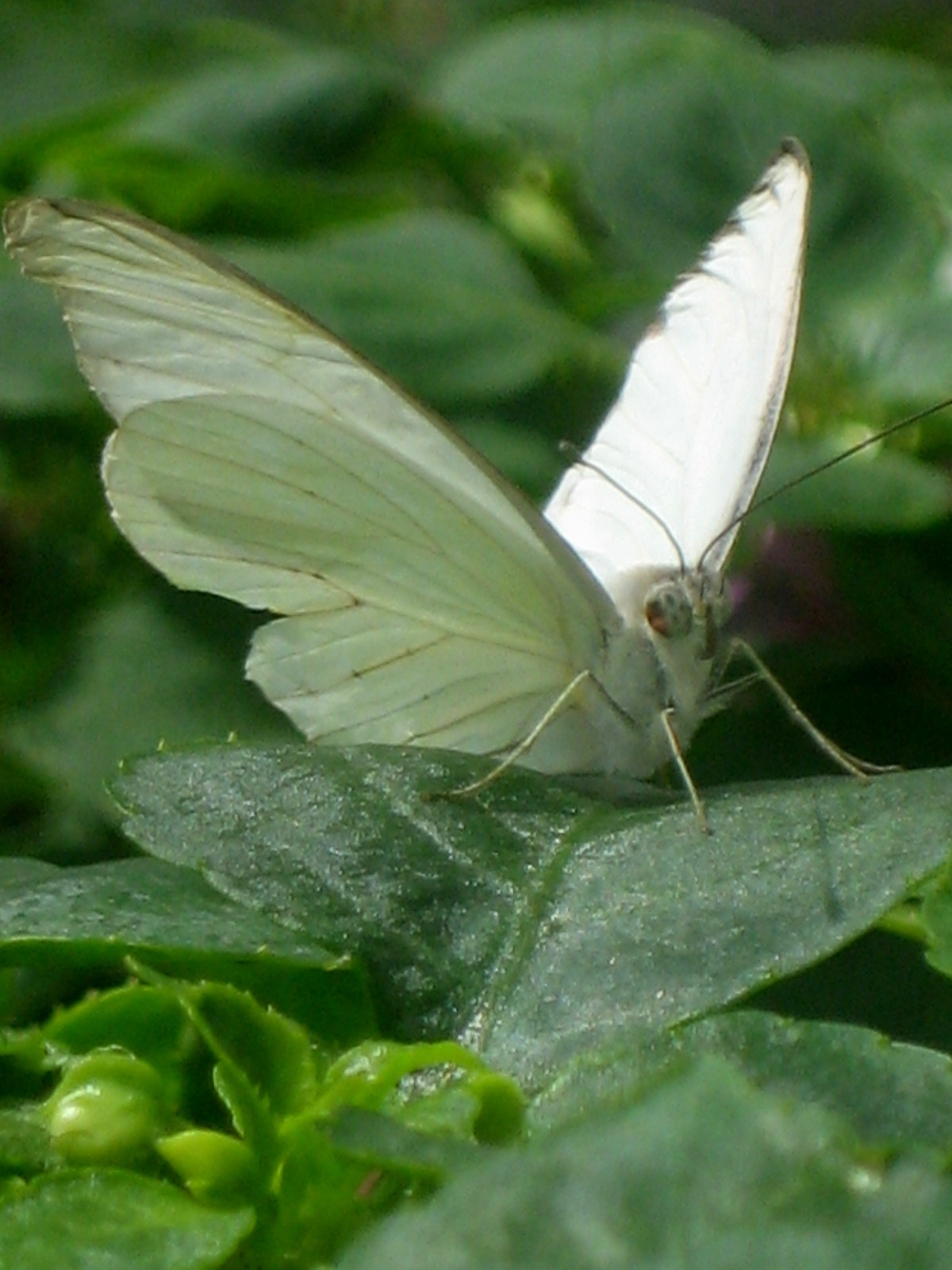A Great Southern White stops for a rest.