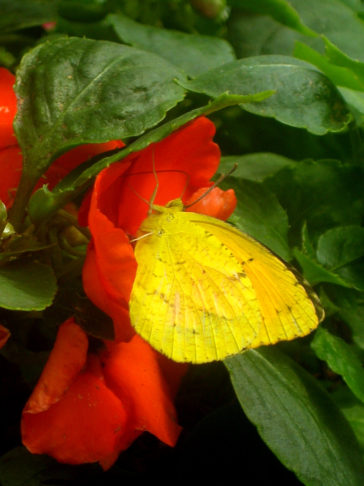 A Sleepy Orange Sulphur enjoys the Botanical splendor