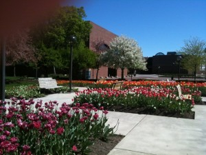Tulips in bloom at Freimann Square in Downtown Fort Wayne