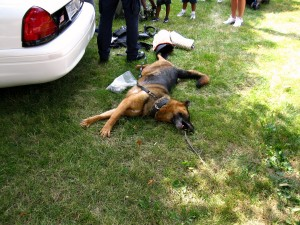 A police dog enjoys a stretch in the grass while at the Three Rivers Festival Children's Fest.