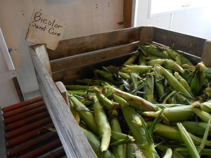 Pick your own sweet corn ears here, at Schmuckers.