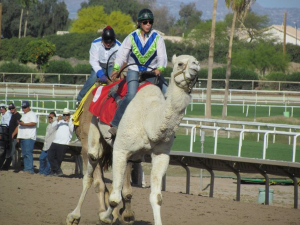 camel racing turf
